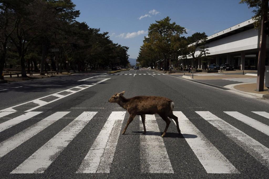 Jae C. Hong از اسوشیتدپرس. گوزنی در حال قدم زدن در میان خیابانی در شهر نارا، ژاپن. مارس 2020