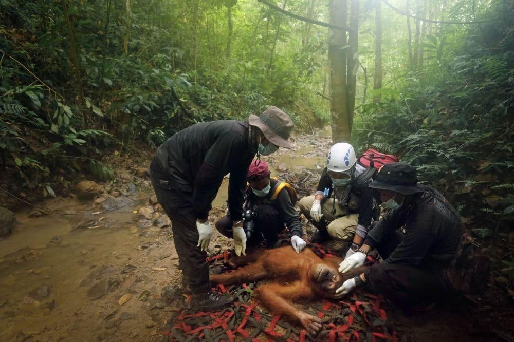 Alain Schroeder. از مجموعهی «نجات اورانگوتانها ادامه دارد»، رتبه اول بخش «ادیتوریال-محیط زیست» (حرفهای)