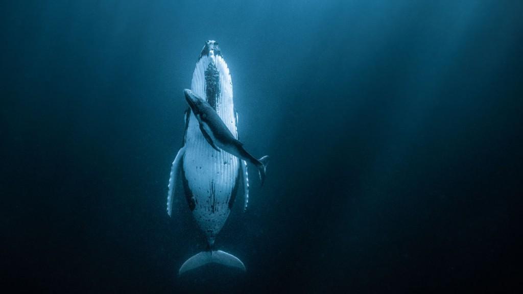 Jasmine Carey از استرالیا. نهنگ گوژپشت و فرزندش، برنده جایزه بزرگ 120 هزار دلاری مسابقه عکاسی HIPA 2020