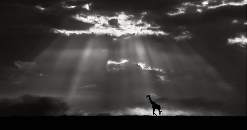 Xavier Ortega از اسپانیا. «زرافه زیر طلوع خورشید»، مقام سوم ژانر «حیات وحش» بخش حرفهای، در مسابقه عکاسی مونوکروم 2020