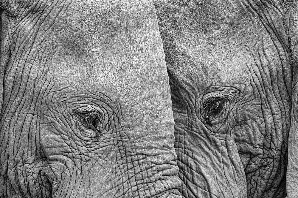 Andrea Izzotti از ایتالیا. «فیس تو فیس»، از آثار شایسته تقدیر ژانر «طبیعت» بخش حرفهای، در مسابقه عکاسی مونو کروم 2020