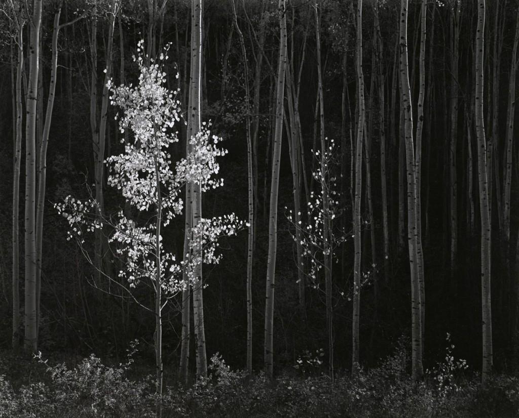 انسل آدامز. درختان اشنگ، نیومکزیو شمالی، 1958