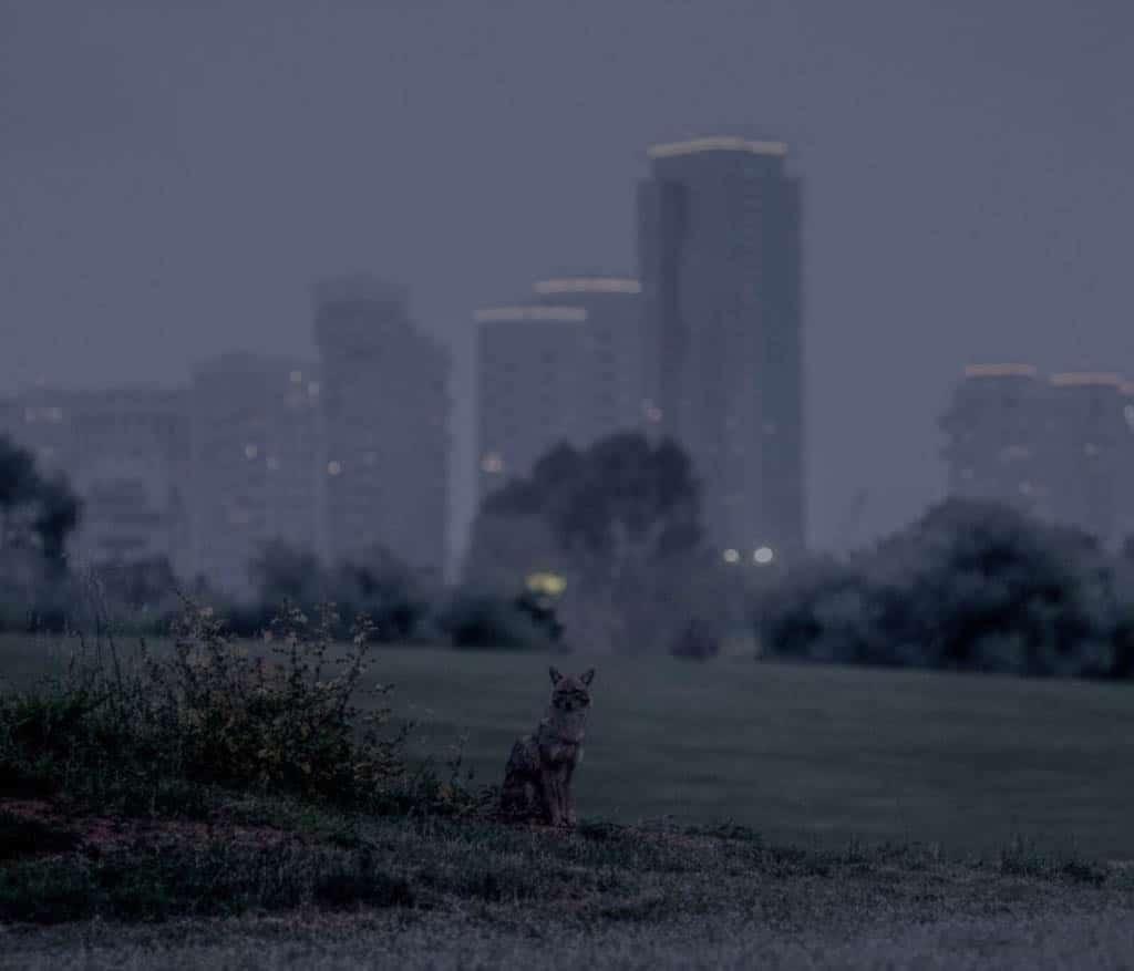 Pavel Wolberg. «سگهای وحشی در پارک یارکن در تلآویو طی دوران قرنطینه کوید19 در جستوجوی غذا هستند»، 2020