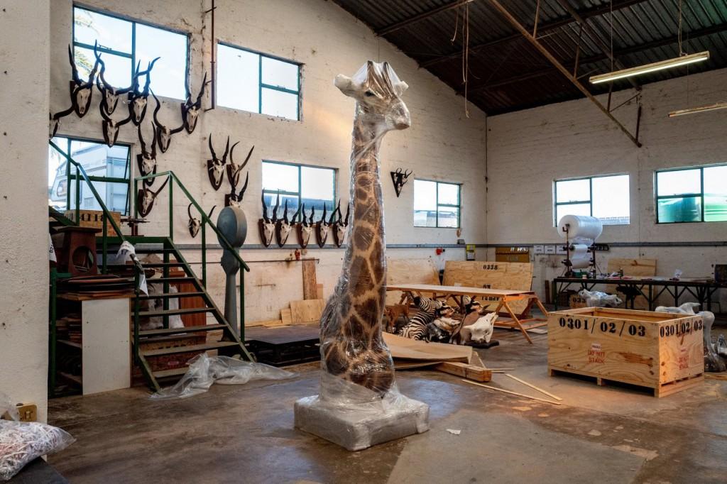 Melanie Wnger. «یک زرافهی تاکسیدرمیشده آمادهی ارسال به آلمان است. تاکسیدرمی بخش مهمی از صنعت شکار در آفریقاست، نامیبیا»، 26 آوریل 2021